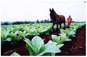 tabak brasilien